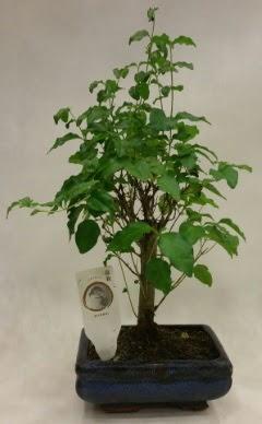 Minyatür bonsai japon ağacı satışı  Burdur çiçekçi telefonları