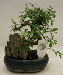 İthal 1.ci kalite bonsai japon ağacı  Burdur çiçek satışı