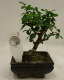 Küçük minyatür bonsai japon ağacı  Burdur çiçek gönderme