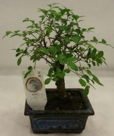 Minyatür ithal japon ağacı bonsai bitkisi  Burdur çiçek satışı