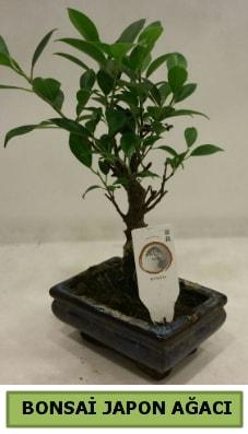 Bonsai japon ağacı saksı bitkisi  Burdur çiçek servisi , çiçekçi adresleri