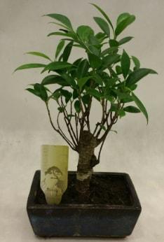 Japon ağacı bonsai bitkisi satışı  Burdur çiçekçi telefonları