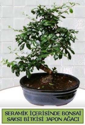 Seramik vazoda bonsai japon ağacı bitkisi  Burdur çiçek siparişi sitesi