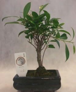 Bonsai japon ağacı bitkisi satışı  Burdur çiçek gönderme sitemiz güvenlidir