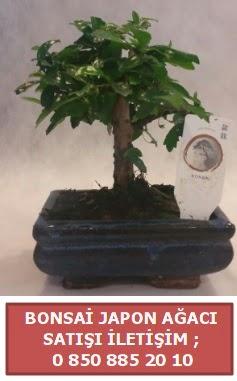 Japon ağacı minyaür bonsai satışı  Burdur çiçek satışı