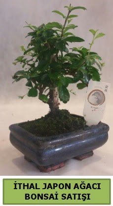 İthal japon ağacı bonsai bitkisi satışı  Burdur çiçekçi telefonları
