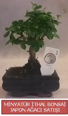 Küçük görsel bonsai japon ağacı bitkisi  Burdur çiçek , çiçekçi , çiçekçilik