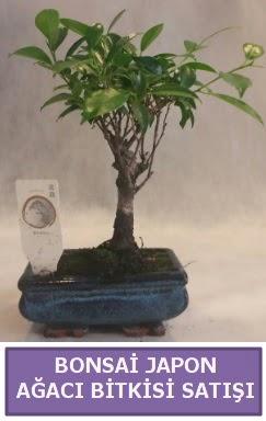 İthal Bonsai japon ağacı bitkisi satışı  Burdur İnternetten çiçek siparişi