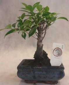 Bonsai ağacı japon ağaç bitkisi  Burdur çiçek yolla