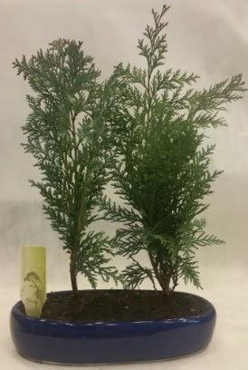 SINIRLI SAYIDA Selvi Ağacı bonsai ikili  Burdur çiçekçi telefonları