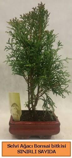 Selvi ağacı bonsai japon ağacı bitkisi  Burdur çiçek satışı