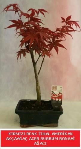 İTHAL ACER RUBRUM BONSAİ AĞACI  Burdur çiçek gönderme sitemiz güvenlidir