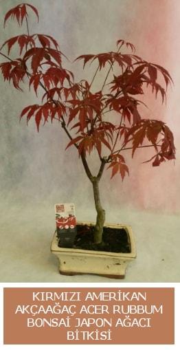 Amerikan akçaağaç Acer Rubrum bonsai  Burdur uluslararası çiçek gönderme