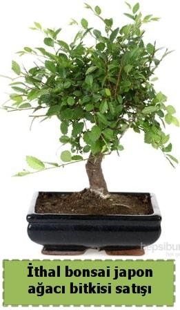İthal bonsai saksı çiçeği Japon ağacı satışı  Burdur İnternetten çiçek siparişi