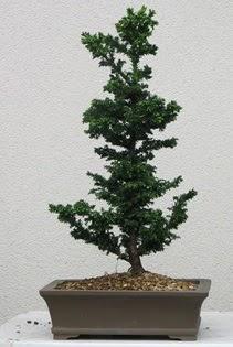 Çam ağacı bonsai bitkisi satışı  Burdur çiçekçi telefonları