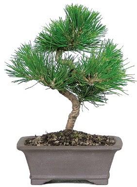 Çam ağacı bonsai japon ağacı bitkisi  Burdur çiçek gönderme