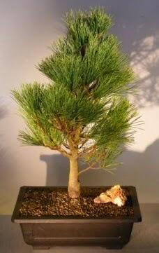 Çam ağacı japon ağacı bitkisi bonsai  Burdur çiçekçi telefonları
