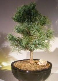 Çam ağacı bonsai bitkisi satışı  Burdur ucuz çiçek gönder