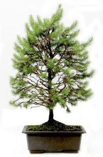 *** STOKTA YOK - Çam ağacı bonsai bitkisi satışı  Burdur cicekciler , cicek siparisi