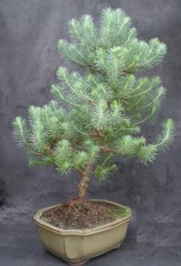 Bonsai çam ağacı japon ağacı bitkisi  Burdur çiçek gönderme sitemiz güvenlidir
