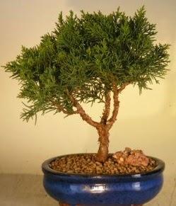 Servi çam bonsai japon ağacı bitkisi  Burdur çiçek yolla
