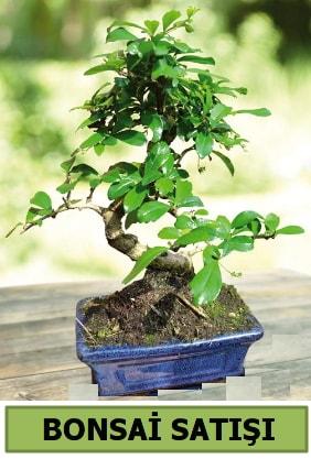 Çam bonsai japon ağacı satışı  Burdur çiçek satışı