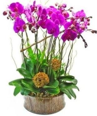 Ahşap kütükte lila mor orkide 8 li  Burdur internetten çiçek satışı