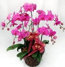 Sepet içerisinde 5 dallı lila orkide  Burdur ucuz çiçek gönder
