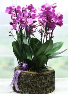 Kütük içerisinde 6 dallı mor orkide  Burdur ucuz çiçek gönder