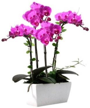 Seramik vazo içerisinde 4 dallı mor orkide  Burdur çiçek satışı