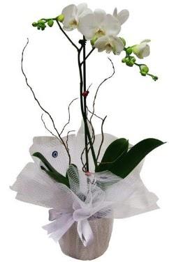 Tek dallı beyaz orkide  Burdur cicek , cicekci