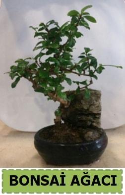 Bonsai ağacı japon ağacı satışı  Burdur hediye çiçek yolla