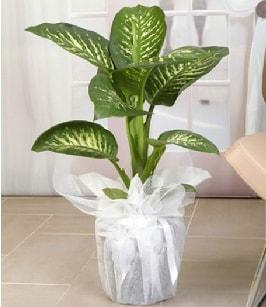 Tropik saksı çiçeği bitkisi  Burdur çiçek satışı