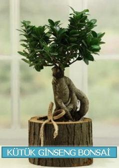 Kütük ağaç içerisinde ginseng bonsai  Burdur çiçek gönderme sitemiz güvenlidir
