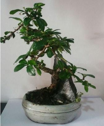 S şeklinde ithal bonsai ağacı  Burdur çiçek yolla
