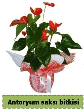 Antoryum saksı bitkisi satışı  Burdur çiçek , çiçekçi , çiçekçilik