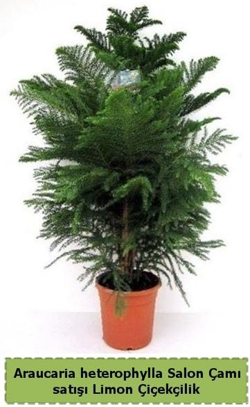 Salon Çamı Satışı Araucaria heterophylla  Burdur çiçek satışı