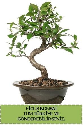 Ficus bonsai  Burdur çiçek gönderme sitemiz güvenlidir