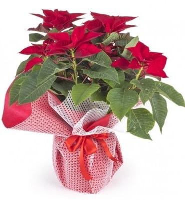 Atatürk çiçeği saksı bitkisi  Burdur çiçek gönderme sitemiz güvenlidir