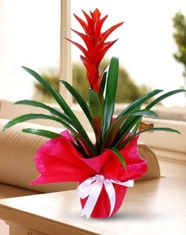 Guzmanya Saksı Çiçeği  Burdur çiçek yolla