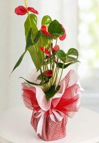 Anthurium Saksı Çiçeği  Burdur hediye çiçek yolla
