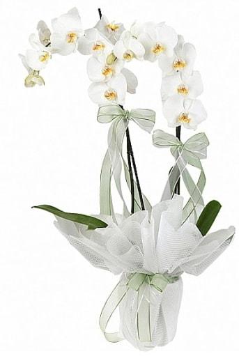 Çift Dallı Beyaz Orkide  Burdur anneler günü çiçek yolla