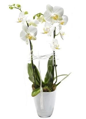 2 dallı beyaz seramik beyaz orkide saksısı  Burdur çiçek gönderme sitemiz güvenlidir