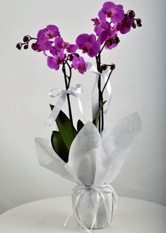 Çift dallı saksıda mor orkide çiçeği  Burdur çiçek siparişi vermek