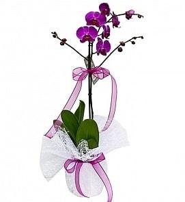 Tek dallı saksıda ithal mor orkide çiçeği  Burdur çiçekçiler