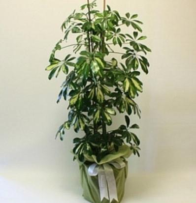 Şeflera salon bitkisi  Burdur çiçek gönderme