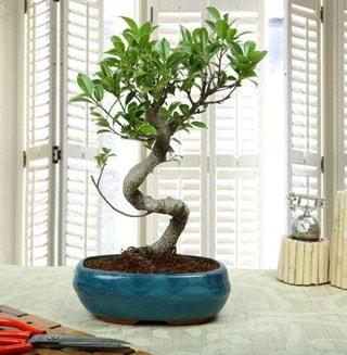 Amazing Bonsai Ficus S İthal  Burdur internetten çiçek siparişi