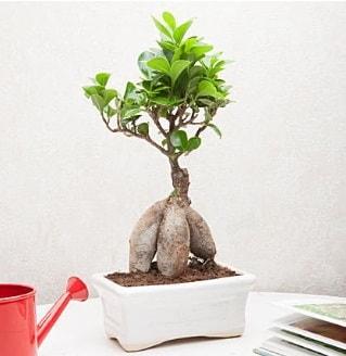 Exotic Ficus Bonsai ginseng  Burdur çiçek servisi , çiçekçi adresleri