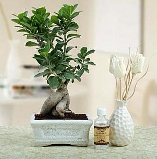 Ginseng ficus bonsai  Burdur çiçekçiler