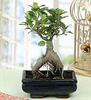 Appealing Ficus Ginseng Bonsai  Burdur anneler günü çiçek yolla